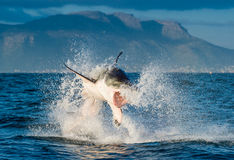 Great White Shark Carcharodon carcharias breaching. In an attack. Hunting of a Great White Shark Carcharodon carcharias. South Africa royalty free stock photography