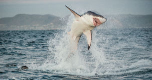 Great White Shark Carcharodon carcharias breaching. In an attack. Hunting of a Great White Shark Carcharodon carcharias. South Africa stock images