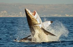 Great White Shark (Carcharodon carcharias) breaching in an attack on seal. Hunting of a Great White Shark (Carcharodon carcharias). South Africa royalty free stock images