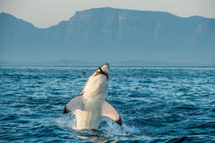 Great White Shark (Carcharodon carcharias) breaching in an attack on seal and swallowed a seal. Stock Photos