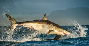 Great White Shark (Carcharodon carcharias) breaching in an attack. South Africa royalty free stock photography