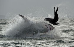 Great White Shark ( Carcharodon carcharias ) breaching in an attack . Stock Photo