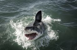 Great white shark Carcharodon carcharias breaching on ocean surface stock photos
