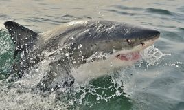 Great White Shark Carcharodon carcharias. Great White Shark Carcharodon carcharias in ocean water Stock Photo