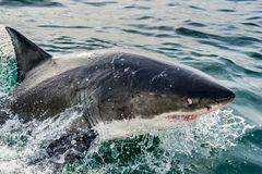 Great White Shark Carcharodon carcharias. In ocean water an attack. Hunting of a . South Africa Royalty Free Stock Images