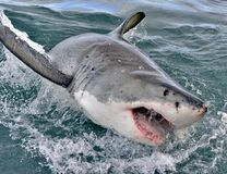 Great white shark, Carcharodon carcharias, with open mouth. False Bay, South Africa, Atlantic Ocean Royalty Free Stock Images
