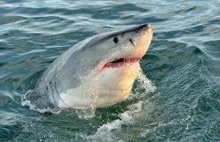Great white shark, Carcharodon carcharias, with open mouth. False Bay, South Africa, Atlantic Ocean Royalty Free Stock Photo