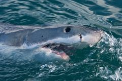 Great white shark, Carcharodon carcharias. Shark, sharks, ocean, sea, coast, head, body, tooth, agresive, scare Royalty Free Stock Photos