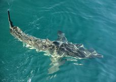 Great White shark (Carcharodon carcharias) in the water. Royalty Free Stock Photos