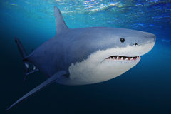 The Great White Shark. The Great White Shark - Carcharodon carcharias is a world`s largest known extant predatory fish. Underwater photo of big fish in a deep Royalty Free Stock Photos