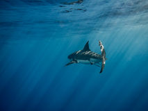 Great white shark caudal fin swimming under sun rays in the blue. Pacific Ocean at Guadalupe Island in Mexico Royalty Free Stock Images