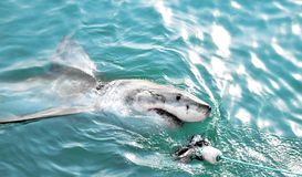 Great White Shark chasing a meat lure and breaching sea surface. Great White Shark breaching the sea surface after being lured to a cage diving boat by meat stock photo