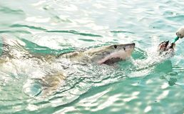 Great White Shark chasing a meat lure and breaching sea surface. Great White Shark breaching the sea surface after being lured to a cage diving boat by meat stock photography