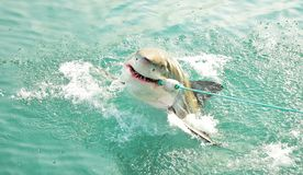 Great White Shark chasing a meat lure and breaching sea surface. Great White Shark breaching the sea surface after being lured to a cage diving boat by meat stock image