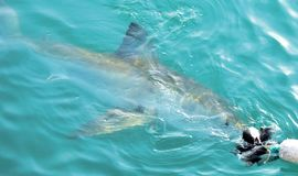 Great White Shark chasing meat lure close to diving cage. Great White Shark swimming very close to the sea surface after being lured to a cage diving boat by stock photography