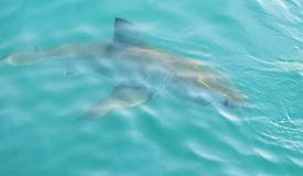 Great White Shark chasing meat lure close to diving cage. Great White Shark swimming very close to the sea surface after being lured to a cage diving boat by royalty free stock image
