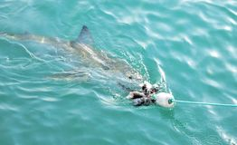 Great White Shark chasing meat lure close to diving cage. Great White Shark swimming very close to the sea surface after being lured to a cage diving boat by royalty free stock images