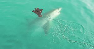 Great White Shark chasing seal decoy. Great White Shark swimming very close to the sea surface after being lured to a cage diving boat by meat and wooden seal royalty free stock photos
