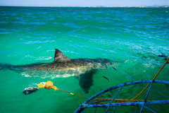 Great white shark circles shark cage being lowered into ocean Stock Photography