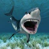 Great White Shark Stock Photos