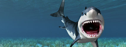 Great White Shark Royalty Free Stock Images