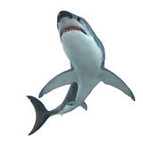 Great White Shark Cruising. The Great White Shark is the largest predatory shark in the ocean and can grow to 26 feet and can live for 70 years Stock Photography