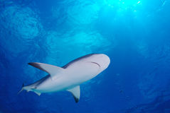 Great white Shark in the deep blue water Royalty Free Stock Photos