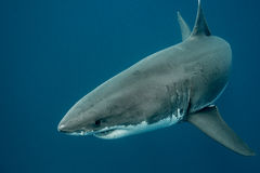 Great white shark in the deep ocean. Great white shark swimming in the depths of the Pacific Ocean at Guadalupe Island in Mexico Stock Photos