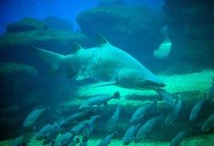 Great white shark. Stock Photography