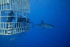 Great White Shark with Divers. Great White Shark from Guadalupe.  Picture taken while scuba diving in submersible deep cage Stock Photos