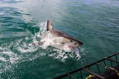 Great White Shark Diving Stock Photo