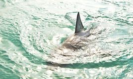 Great White Shark Dorsal Fin breaching the sea surface. After being lured to a cage diving boat by meat and wooden seal decoys, Gansbaai, South Africa royalty free stock image