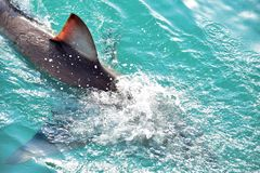 Great White Shark Dorsal Fin breaching the sea surface. After being lured to a cage diving boat by meat and wooden seal decoys, Gansbaai, South Africa stock photos