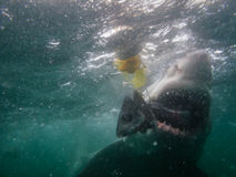 Great white shark eats fish next to divers cage Stock Photography