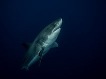 Great white shark emerging from the depths in the Pacific Ocean Royalty Free Stock Photos