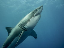 Great white shark emerging Royalty Free Stock Photo