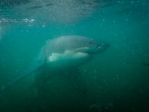 Great white shark examines diver in cage in Ganis Bay Royalty Free Stock Photos