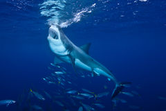 Great White Shark feeding at Guadalupe Island. Mexico Stock Images