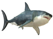 Great White Shark Female royalty free stock images