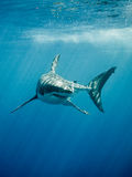 Great white shark fings and teeth in the blue ocean Stock Photography