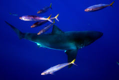 Great White Shark and Friends Royalty Free Stock Image