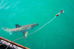 Great White Shark, Gansbaai, South Africa Royalty Free Stock Photography