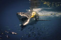 Great White Shark. S activity of Isla Guadalupe royalty free stock photography