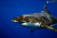 Great White Shark, Guadalupe Island, Mexico. Cautious and patient, a Great White Shark considers the bait, fish tails Stock Photo