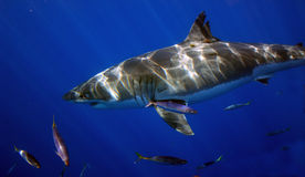 Great White Shark, Guadalupe Island, Mexico. A Great white Shark glides through the sea near Guadalupe Island, Mexico Royalty Free Stock Photography