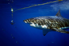 Great White Shark, Guadalupe Island, Mexico. A Great white Shark inspects raw fish tails as a potential meal Stock Images