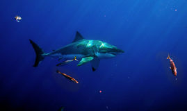 Great White Shark, Guadalupe Island, Mexico. A great white shark moves silently through the ocean near Guadalupe Island, Mexico Royalty Free Stock Image