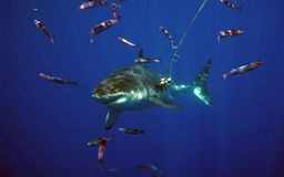 Great White Shark, Guadalupe Island, Mexico. A great white shark moves silently through the ocean near Guadalupe Island, Mexico Stock Image