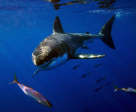 Great White Shark, Guadalupe Island, Mexico. A great white shark moves silently through the ocean near Guadalupe Island, Mexico Stock Images