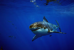 Great White Shark, Guadalupe Island, Mexico. A patient great white shark stalks the waters around Guadalupe Island in Mexico Royalty Free Stock Images